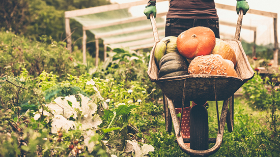 Wheelbarrow filled with vegetables being pushed through a vegetable garden